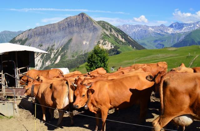 Milking in alpine pasture